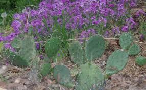 native georgia plants opuntia humifusa prickly pear cactus plants u0026 seed