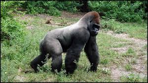 Gorilla by Silverback Gorillas Gorilla Gorilla Youtube