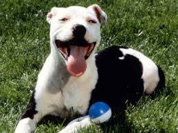 american pitbull terrier info american pit bull terrier information characteristics facts names