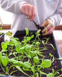 veggie gardening seattle tilth association