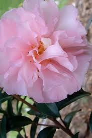Where To Buy Pink Cotton Candy Buy Cotton Candy Camellia For Sale Online From Wilson Bros Gardens