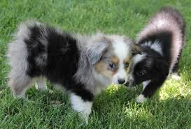 double r australian shepherds toy mini australian shepherd pups for sale co tug yurhart