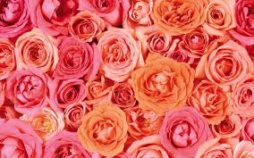 orange and white wallpapers 30 pink and white roses background pink and white roses