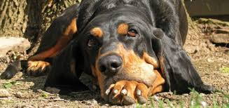 bluetick coonhound kennels in ga the black and tan coonhound modern dog magazine