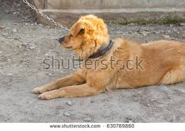 Dog In The Backyard by Dog Chain Stock Images Royalty Free Images U0026 Vectors Shutterstock