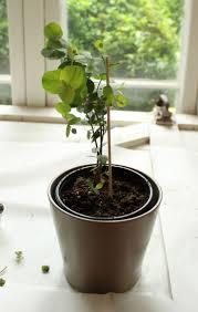 Most Fragrant Indoor Plants The 25 Best Eucalyptus Plant Indoor Ideas On Pinterest