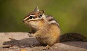 chipmunk key facts species u0026 information