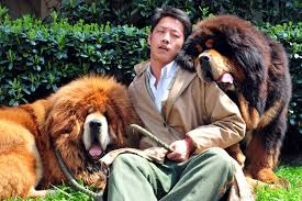 tibetan mastiff attack stirs debate about dangers of worlds most