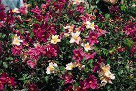 china with roses mutabilis online gallery of antique roses