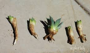 how to plant agave u0027pups u0027 birds and blooms