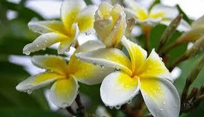 frangipani flower benefits as antibiotic health benefits of plants