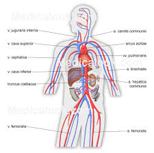 Human Anatomy Skeleton Diagram Skeletal Labelled Diagram Of Circulatory System In Human Human