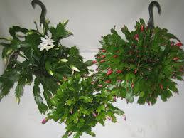 christmas cactus crooker u0027s plant master