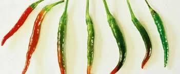 ornamental pepper capsicum annuum thai