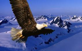 stellers sea eagle wallpapers american bald eagle wallpapers