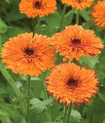 calendula flowers calendula seeds grow pacific beauty calendula flowers burpee