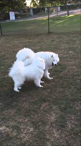 american eskimo dog in india funny american eskimo u0026 pearl the samoyed playing at the dog park