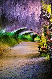 japan flower tunnel wisteria flower tunnel kawachi fuji garden japan by tristan joe