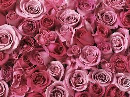 Pink Roses Wallpaper by Testimonials U2014 Rosa Pr