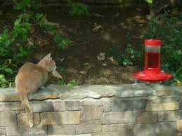 cat and hummingbird harmony in my backyard krynsky com
