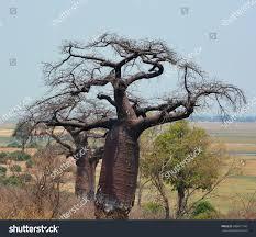 baobab boab boaboa bottle tree upsidedown stock photo 688817194