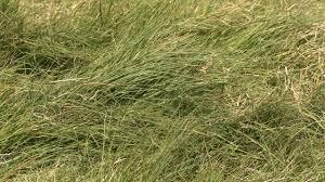 california native plant seeds blue gramma grass mixing california native with non native