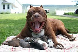 american pitbull terrier in uk hulk the world u0027s biggest pitbull cuddles up to his litter of