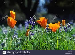 sky lupine lupinus nanus and california poppy plants