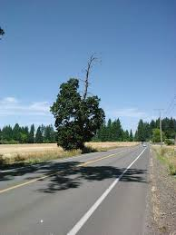 so there s an tree growing on the side of the road