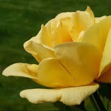 roses online climbing offer clarenbridge garden centre
