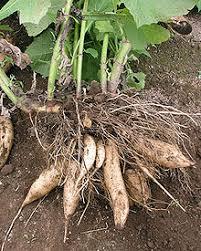 poire de terre cuisine sirop de poire de terre wikipédia