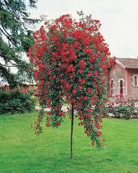 flowering trees zone 5 flowering trees small ornamental trees