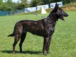 belgian shepherd breeders brindle dutch shepherd puppies dog breeds puppies clever dutch