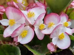 begonia flower begonias images pixabay free pictures
