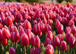 tulips flowers tulips how to plant grow and care for tulip flowers the