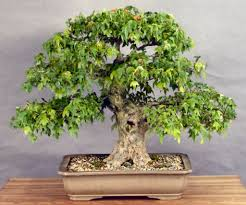 what to before you buy a bonsai tree