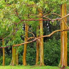 rainbow eucalyptus tree for sale the tree center