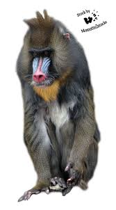 cut out stock png 61 lovely mandrill by momotte2stocks critter