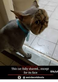 Weird Cat Meme - this cat fully shaved except weird for its face weirdworldinsta