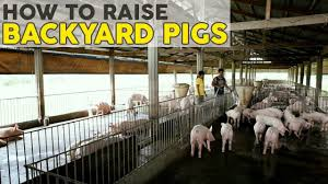 how to raise pigs atlas feeds backyard farms youtube