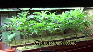 cannabis grow shed youtube