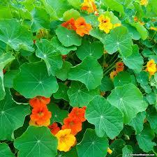 nasturtium flowers nasturtium seeds tropaeolum majus american