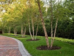 Best Trees For Backyard by 36 Best River Birch Images On Pinterest Garden Ideas