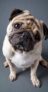 Pug Home Decor 124 Best P U G Images On Pinterest Pug Life Pug Art And Drawings