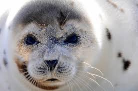 Rhode Island wild animals images Marine mammals of rhode island part 8 harp seal rinhs jpg
