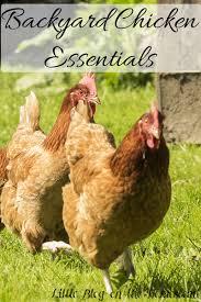 backyard chicken essentials little blog on the homestead