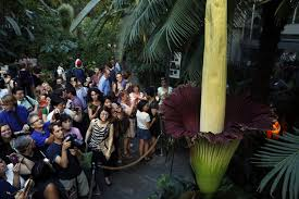 the big stink d c u0027s corpse flower put on a show the two way npr
