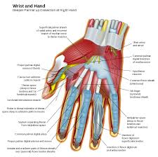 Innervation Of Infraspinatus Muscles Of The Hand Wikipedia