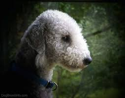 grooming a bedlington terrier puppy bedlington terrier dog breed information and pictures