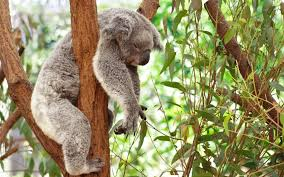 free screensaver wallpapers for koala download awesome